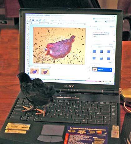 search_chicken.jpg