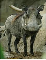 warthog1.png