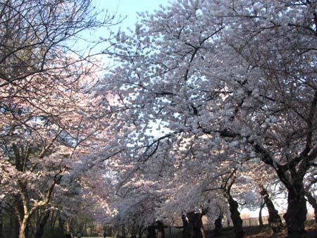 cherry_sky1.JPG